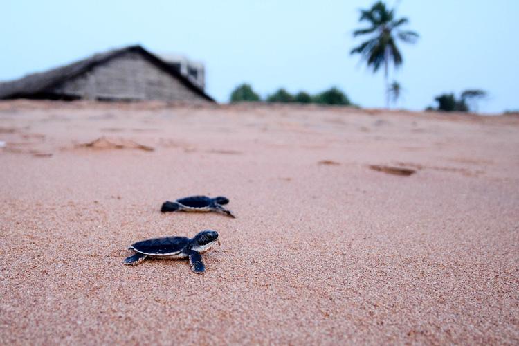 Sri Lanka. Eine Chance für Meeresschildkröten?