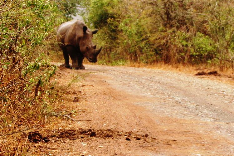 Nashorn im Hluhluwe iMfolozi Nationalpark