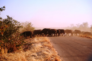 Büffel Krüger Nationalpark Südafrika