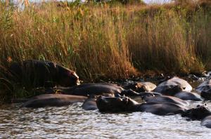 Nilpferde St Lucia Südafrika